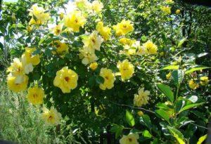 Цветки розы Golden Showers могут выгорать, создавая двух- или трёхцветный эффект окраски куста.