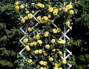 Важное значение для хорошего роста розы Goldstern имеет освещённость участка.