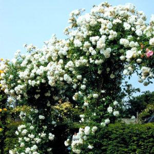 Сорт Iceberg Cl. часто фигурирует в рейтингах розоводов как «идеальная плетистая белая роза».