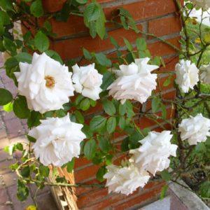 Подвязать розу к кирпичной стене можно с помощью вбитых крюков, к которым крепятся мягкие петли.