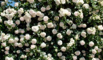 Розы питомника Топаловичей: особенности и отзывы