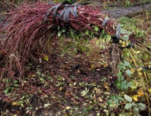 Пригибание плетей роз к земле удобней выполнять не по одному побегу, а в связанном виде.