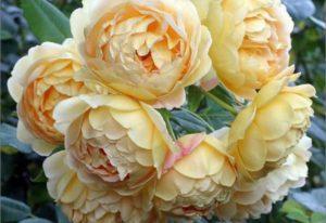 Современные сорта роз с пионовидной формой цветка отличаются от старинных способностью к повторному цветению