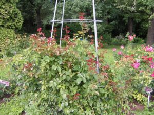 Сорт розы «Девичьи Грёзы» дорастает до трех метров и требует прочной опоры. Устанавливать ее нужно сразу после посадки. (фото - Никитский ботанический сад).