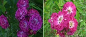 Окраска цветков меняется по мере раскрытия и зависит от условий произрастания, освещения и питания.