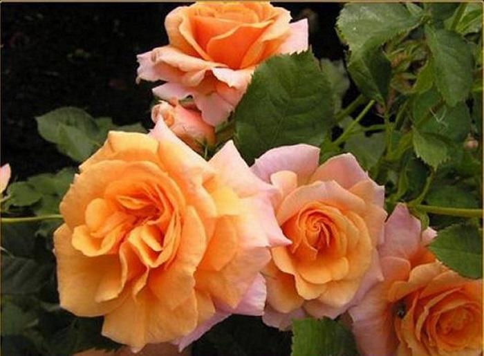 Роза Плетистая «Лиана»