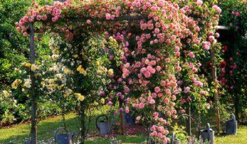 Плетистые розы без шипов