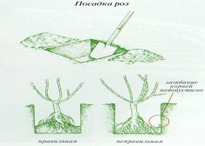 При посадке роз ширина ямы должна быть достаточной для свободного расположения корней.