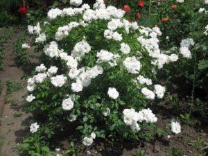 На небольших участках розу «Шнеевитхен» выращивают, как кустовую.