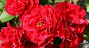 Канадская парковая роза «Джон Франклин» (John Franklin).