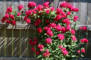 Сорт плетистой розы «New Вlaze» (Blaze Superior)