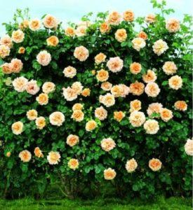 Плетистая роза «Полька» хорошо формируется, как крупный шраб.