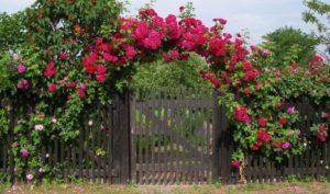 Побеги розы «Супер Эксцельза» легко ложатся на опору любой конфигурации