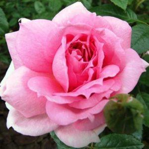 В отличие от большинства канадских сортов бутоны «Ламберт Косс» больше похожи на чайно-гибридные розы.