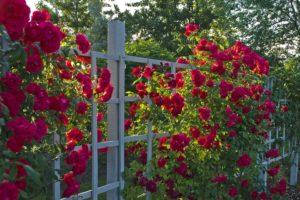 Планируя посадку плетистой розы, важно предусмотреть опору.