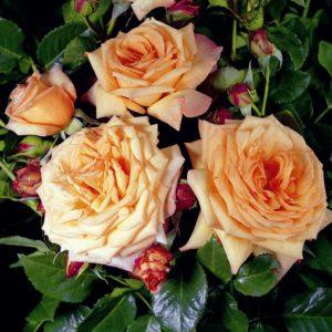 Роза Barock может расти в полутени или тени, но при этом плохо формирует плетистую форму и менее обильно цветёт.