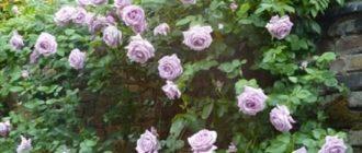 Плетистая роза Blue Moon Cl. (Блю Мун): описание и выращивание