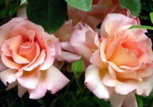 Роза Compession может использоваться не только как украшение сада, но и на срезку.
