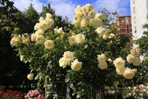 Плетистая роза Elfe отличается не только высокой морозостойкостью и сильным иммунитетом, но и оригинальным оттенком цветка.