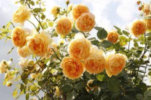 Чем теплее лето, тем выше вырастает роза Golden Celebration.