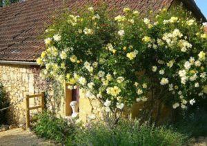 Отцветшие цветки с розы Golden Showers нужно удалять, чтобы не образовывались плоды, тормозящие повторное цветение.