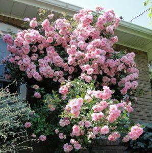 John Davis – плетистая роза, испытанная в сибирских условиях.