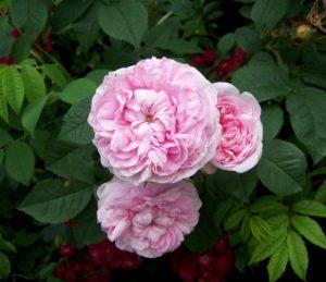 Цветки Königin von Danemark наследуют все достоинства лучших старинных роз.