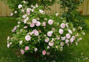 Белые парковые розы могут обладать небольшим «румянцем», как сорт Martin Frobisher.