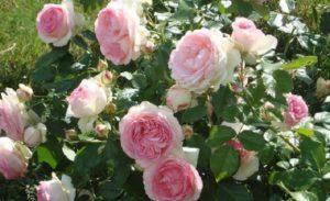 Цветок розы Pierre de Ronsard пышнее, чем у розы Swan Lake, но более ярко окрашен и менее устойчив к дождю.