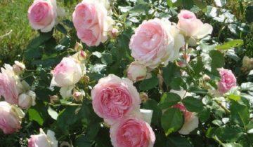 Плетистая роза Swan Lake: характеристика и использование в саду