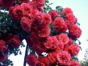 Выращивание плетистых роз с пионовидными цветками требует качественной опоры, поскольку иногда под тяжестью цветов кусты заваливаются