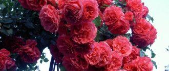 Плетистая роза Rosarium Uetersen отлично зарекомендовала себя при выращивании в средней полосе