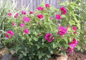 Посадка роз William Sheakespeare должна вестись с интервалом между кустами около 1 метра.