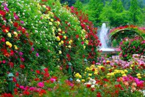 Создание красивого розового сада требует ответственного подхода к выбору сортов роз.