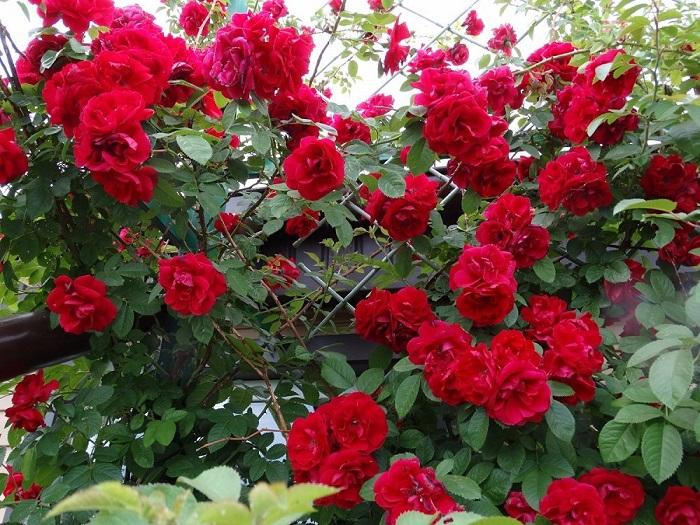 Лучшие красные сорта плетистых роз