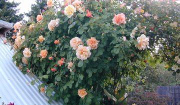 Плетистые розы Харкнесса