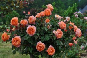 Английская роза «Пэт Остин» (Pat Austin).