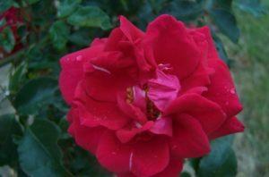 Сорт плетистой розы ««New Dawn Red» (Étendard)