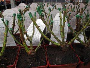 В отличие от саженцев с открытой корневой системой, растения, выращенные в контейнере, можно высаживать в любое время года, пока можно вскопать землю.