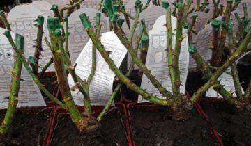 Уход за плетистой розой в первый год