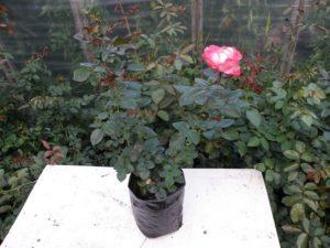 Многие сорта в это время еще цветут, но это не мешает приживаемости роз, с закрытой корневой системой.