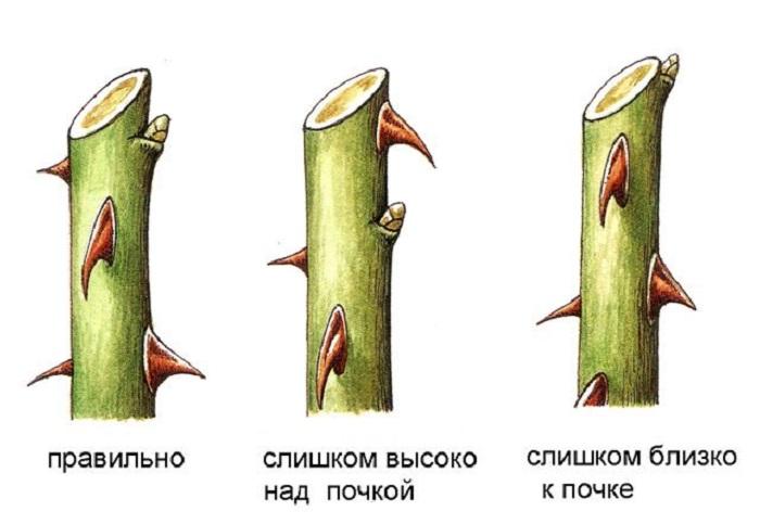 Побег срезают над здоровой активной почкой, отступив сверху 1-1,5 см.
