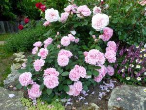 Роза «Прейри Джой» сочетает великолепную форму цветка и аккуратный компактный куст.