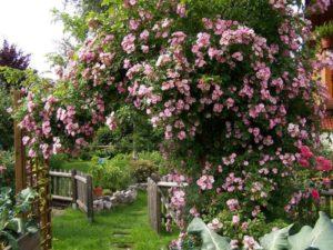 Плетистые розы для средней полосы России. Высокорослый рамблер Apple Blossom перспективен для выращивания в средней полосе России