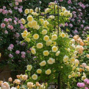 Для здоровья и хорошего цветения пионовидным розам необходимо достаточное количество солнечного цвета
