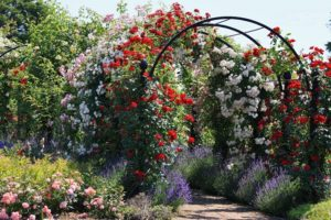 Белые плетистые розы великолепно комбинируются с розами любых других цветов.