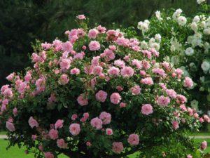 Парковые розы неплохо выносят тень, но лучше цветут и развиваются на солнечных участках.