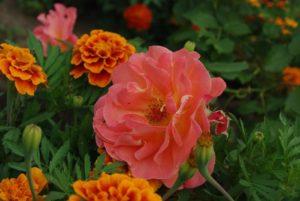 Практика совместного выращивания бархатцев и роз демонстрирует заметное снижение частоты инфекций в розарии