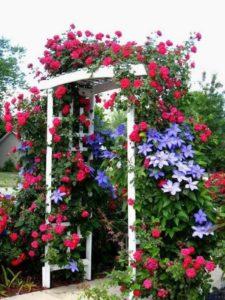 Плетистые розы и клематисы – классическое сочетание, и можно оставить их на перголе вместе.