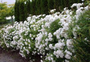 Колючая изгородь из парковых роз непроходима не только для человека, но и для некоторых животных.